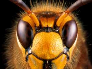'Murder hornets' colonise for first time