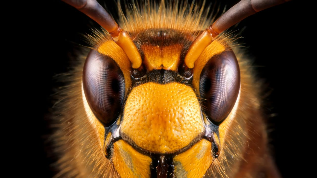 The hornets kill up to 50 people a year in Japan.