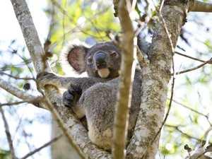 Koalas ready to go back to the bush
