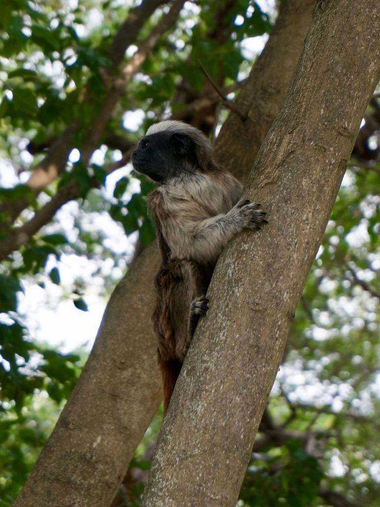 One of the true highlights, in Cartagena, Colombia, is wandering through Parque Centenario, and spotting sloths and monkeys.