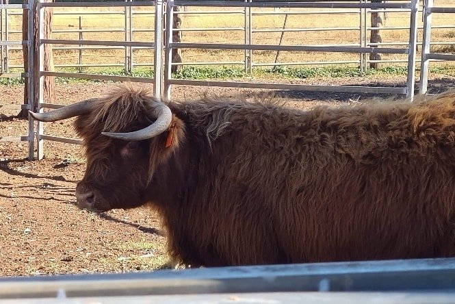 Oakey State High School welcomed its newest staff member - a shaggy Highland cow named Peggie.