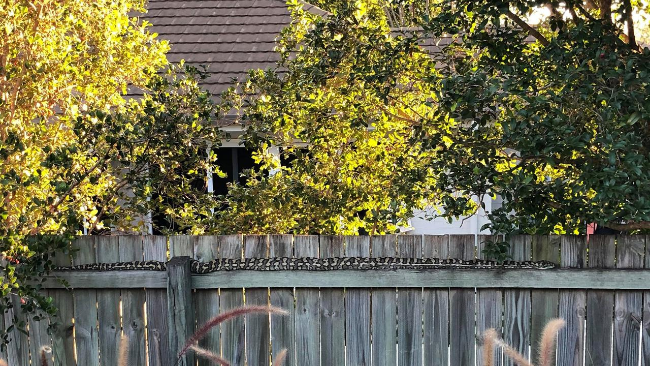 A massive snake spotted in a Seventeen Mile Rocks backyard. Picture: Bel Barrie