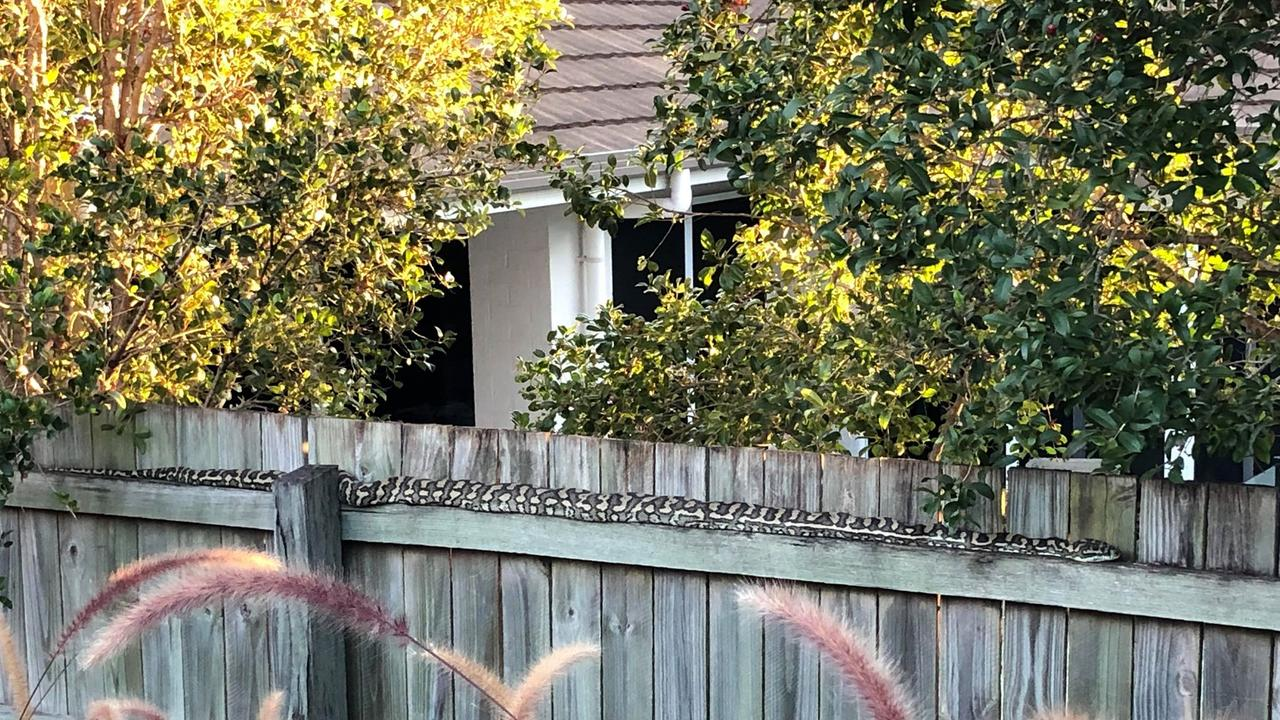 A huge python has made itself at home in a resident's backyard, feasting on wildlife and sunbaking on the fence.