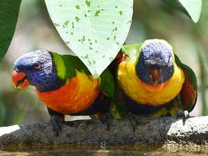 PARALYSED PARROTS: What to do with sick lorikeets