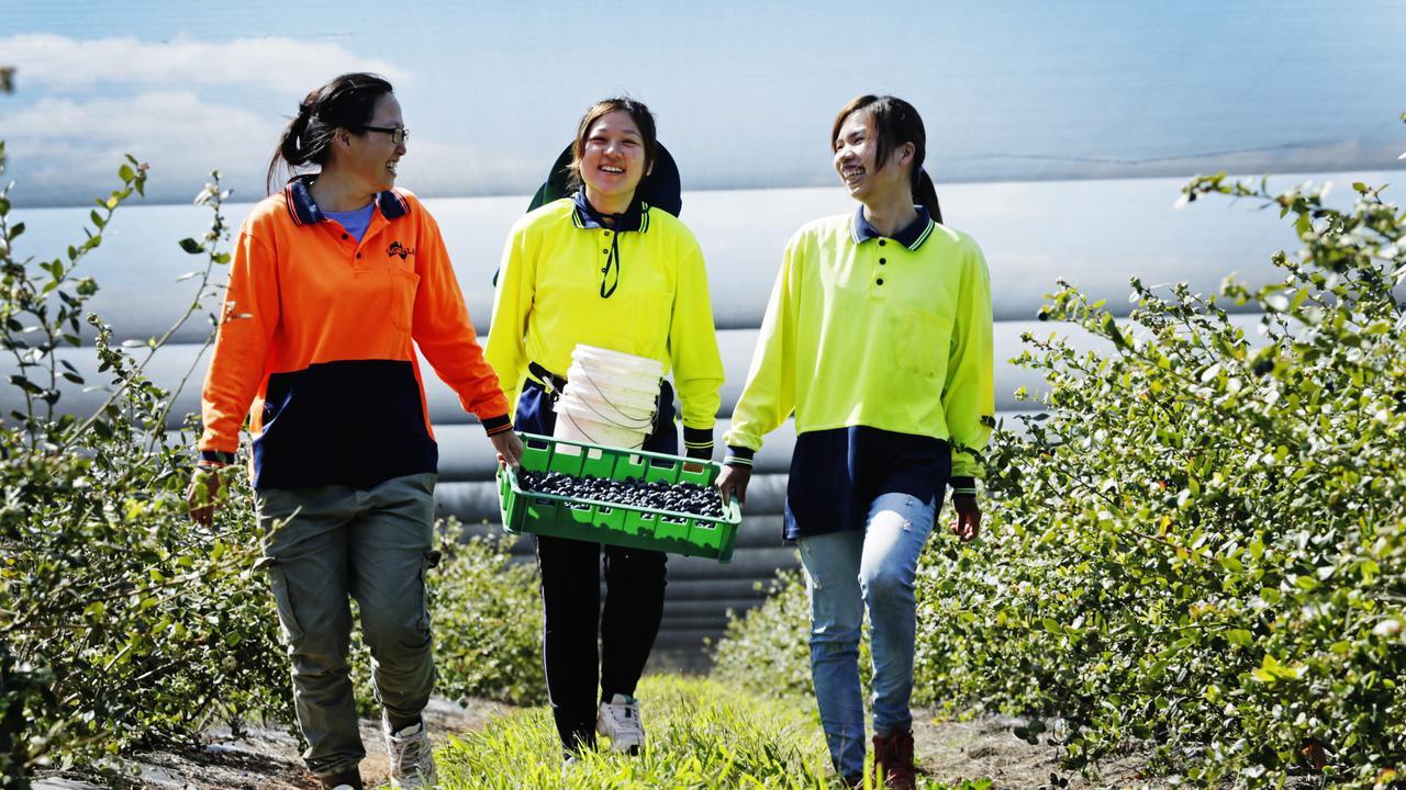 SEASONAL HEALTH PLAN: Blueberry pickers April Tseng, Cherry Ho, and Amber Lee working at Smart Berries Plantation at Mundubbera. Picture: Lachie Millard