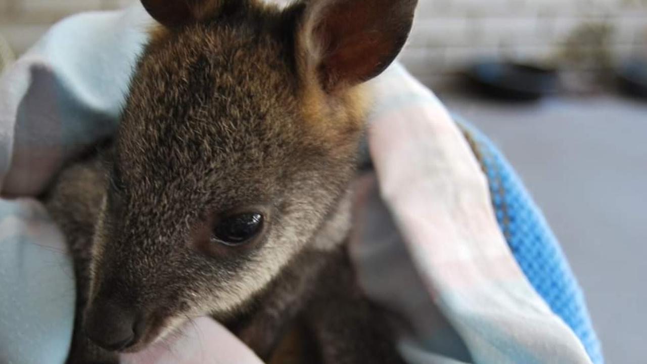 Many joeys are orphaned during the peak season for cars hitting wildlife which begins towards the end of May.