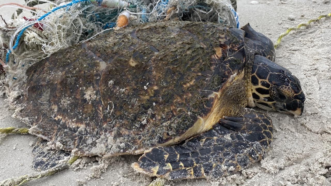 A trapped turtle had a flippin' lucky escape from a washed-up fishing net after a local stumbled across him on a beach walk.