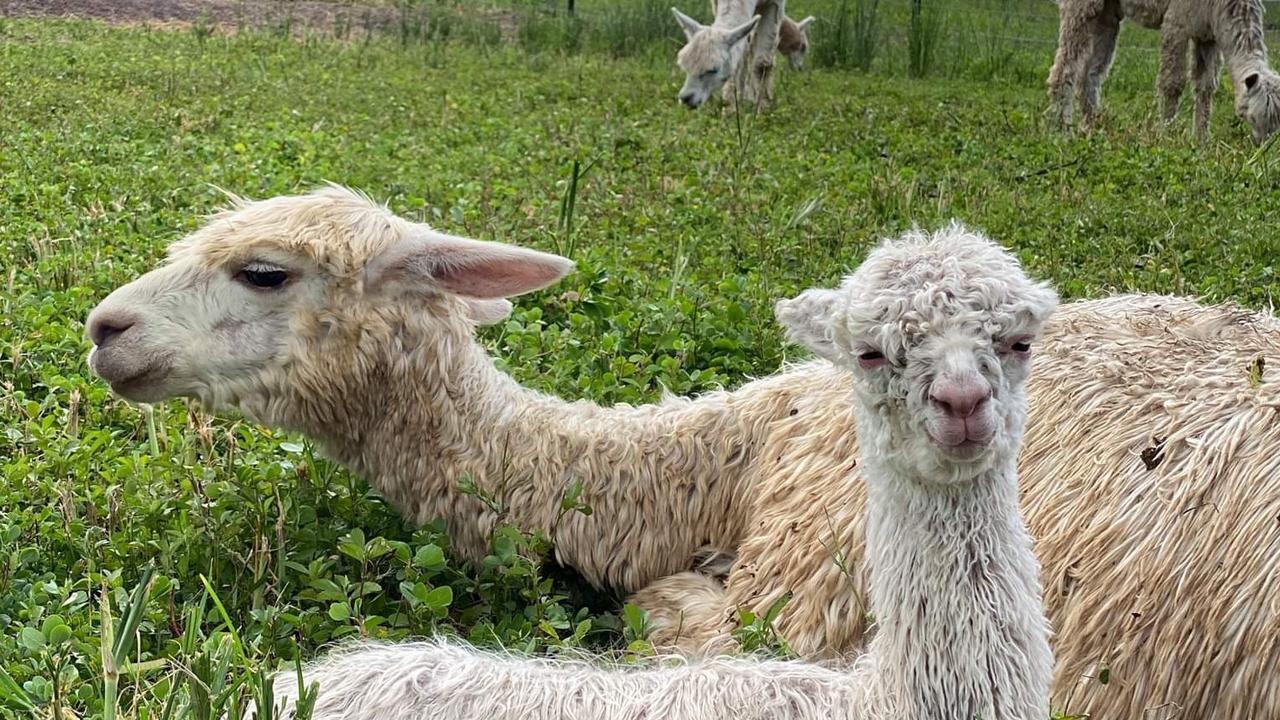 Alpacas from the Littabella Alpacas farm.