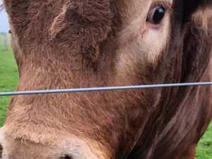 Bull's 'itchy bum' cuts power to 800 homes