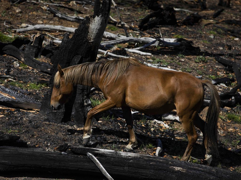 Brumbies feed on fresh regrown grass in the Kosciuszko National Park, after the bushfires. Picture: Sean Davey