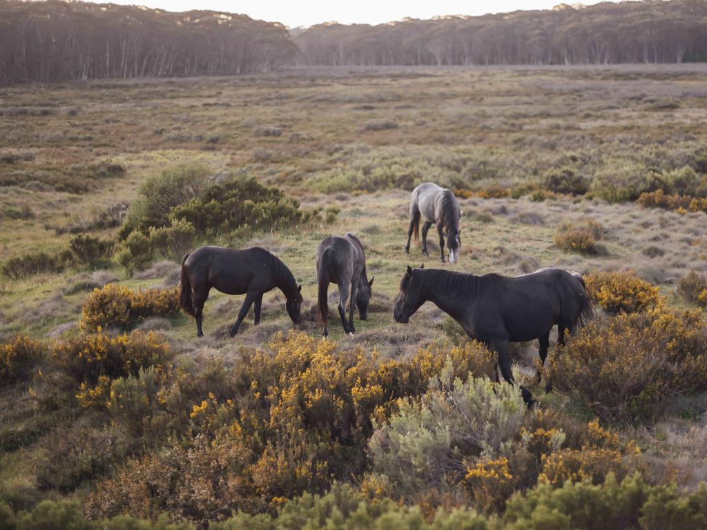 Up to 4000 horses will be removed from three areas in Kosciuszko National Park. Picture: Rohan Thomson