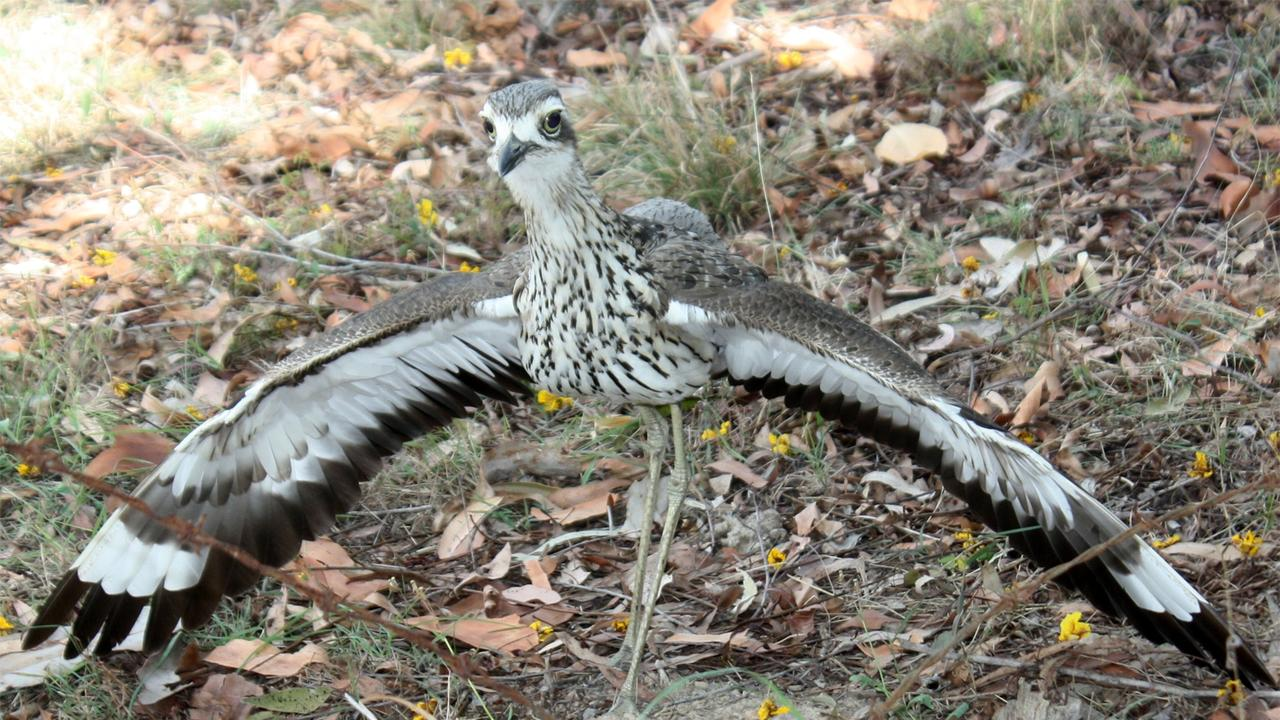 In defence of their eggs and the young chicks, adult bush stone curlew will spread their wings and run at the intruder while hissing.