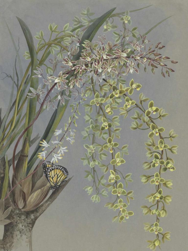 Cymbidium suave R.Br., and Cymbidium canaliculatum R.Br., family Orchidaceae, Mackay, Queensland, 1887. Painting: Ellis Rowan
