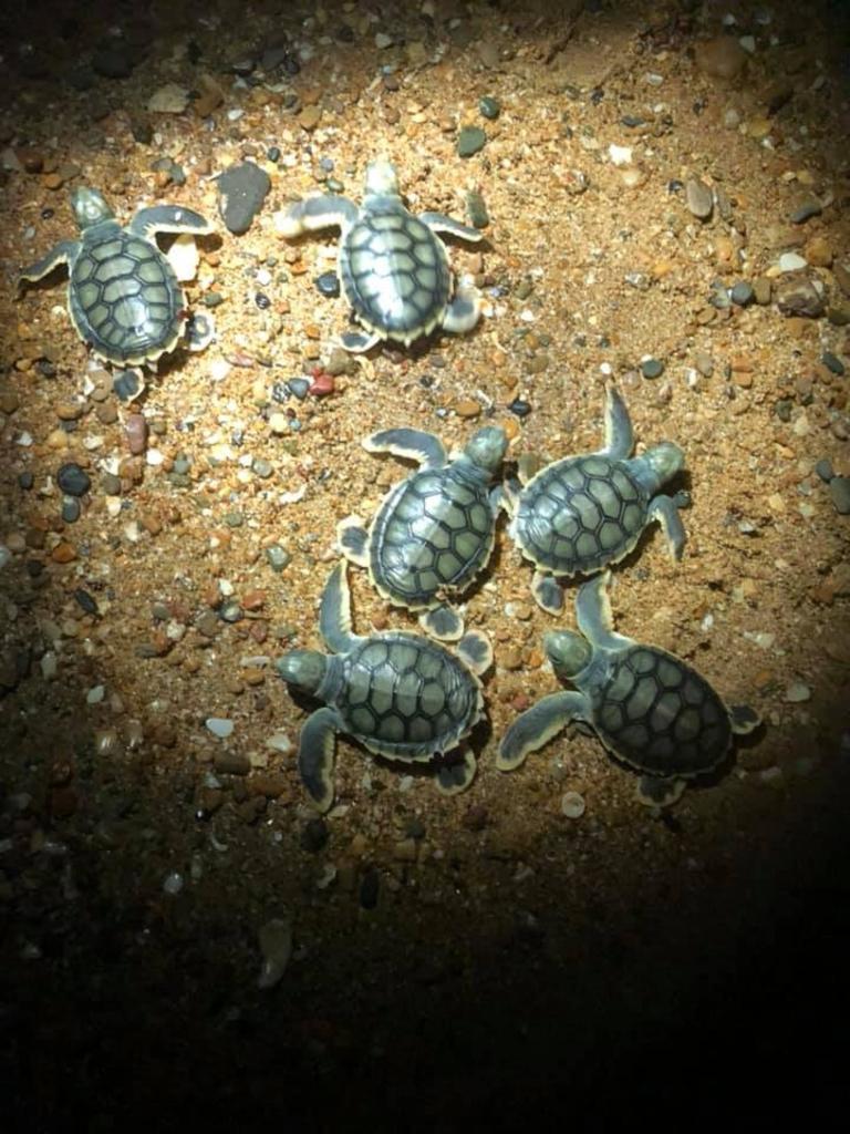 Turtle Hatchlings on the Capricorn Coast