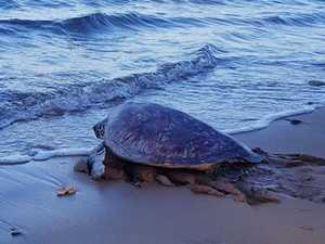 Troubled turtle back in Bay waters