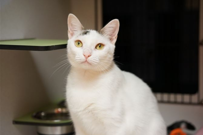 Snowball is a one-year-old domestic short hair mixed breed. Source: RSPCA