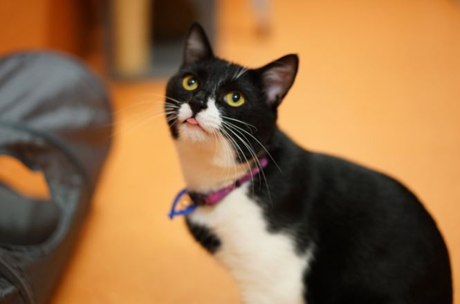 Mr Smith is a one-year-old domestic short haired cat.