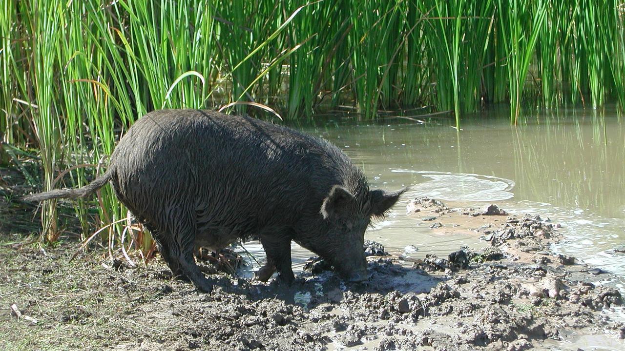 ROOTING AROUND: Feral pigs wreak havoc across Australia, including in the Wide Bay Burnett.