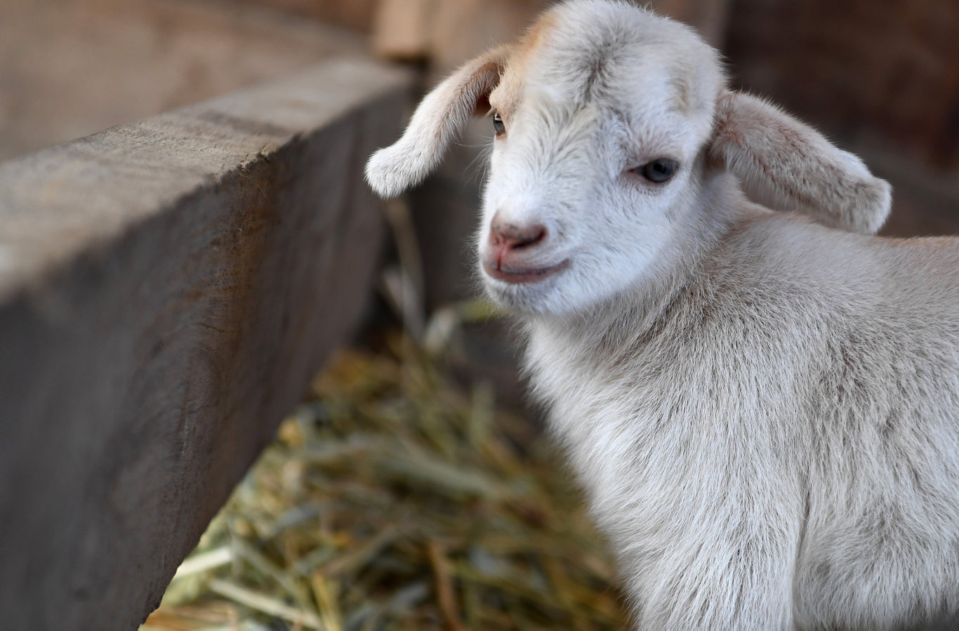 JOIN OUR RESCUE SQUAD: A baby goat at Splitters Farm.