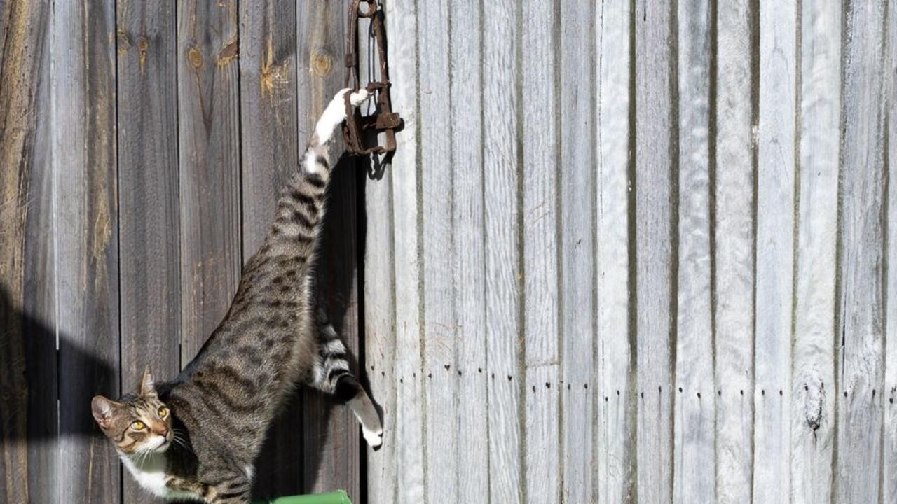 Police and RSPCA officers are scouring parts of a suburb after a moggy was caught in an illegal rusty steel jaw trap and left hanging by his foot overnight.