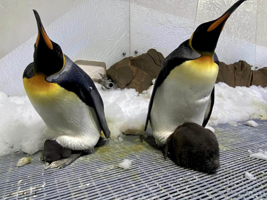 King penguins and their chicks at Sea Life Melbourne Aquarium. Picture: Supplied