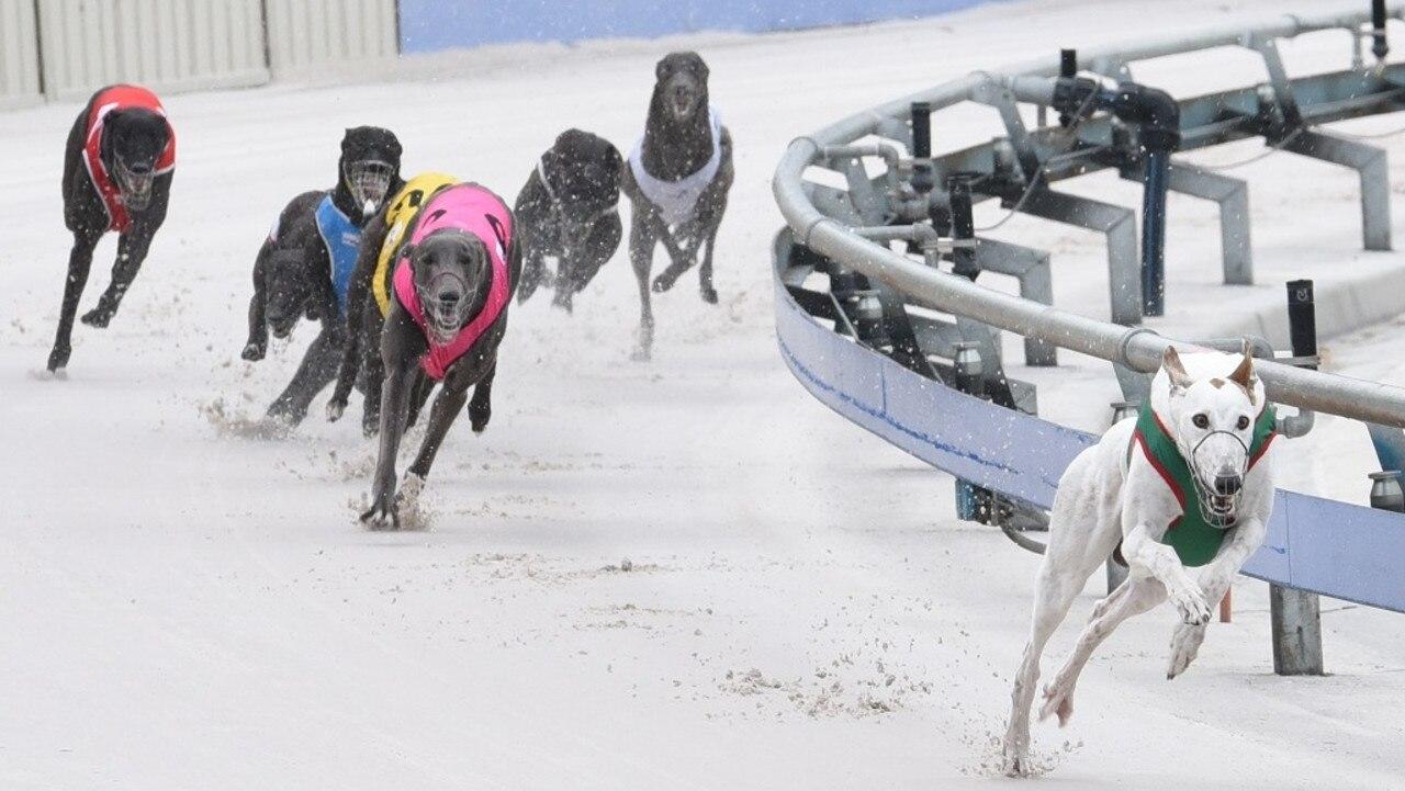 Cosmic Bonus (right) is ready for a milestone night at Grafton Greyhound Racing Club tonight.