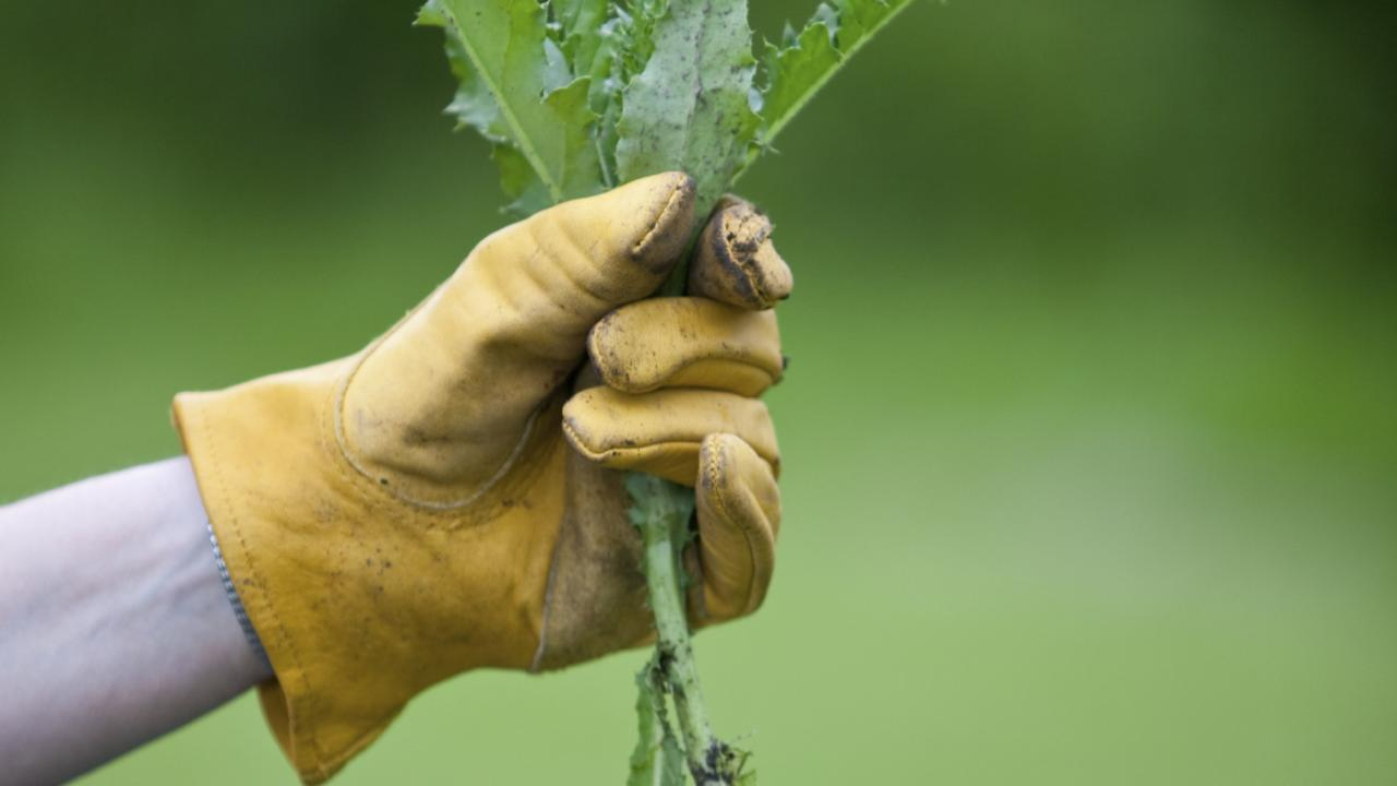 WEEDS: New funding have been given to help pest management of the Western Downs.