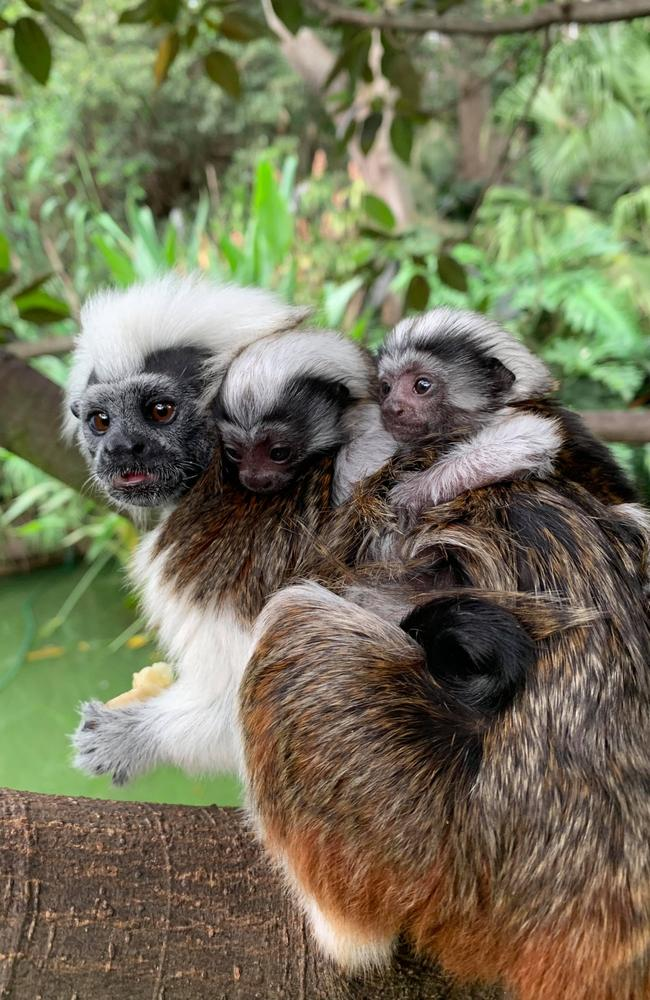 Twin babies Santiago and Matteo are critically endangered Cotton-top Tamarins recently welcomed at Taronga Zoo. Picture: Taronga Zoo