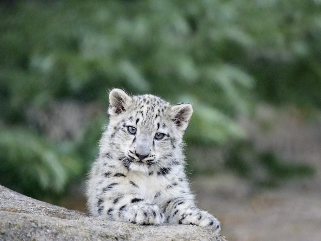 A baby snow leopards at Melbourne Zoo. Picture: Zoos Victoria