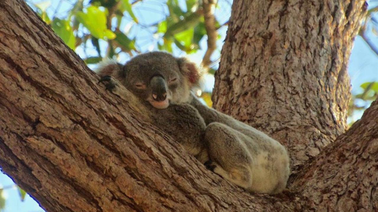 KOALA: Noosa's famous koala Allegro/Mornington at Tea Tree Bay in Noosa National Park. Photo: Bernard Jean/Noosa Koala Sightings