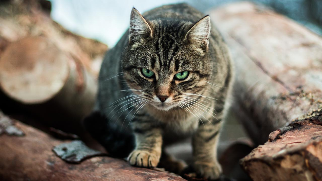 New research by the National Environmental Science Program found that on average each roaming pet cat kills 40 native reptiles, 38 native birds and 32 native mammals per year.