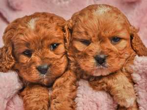 Puppy buying scams cost Aussies $300,000