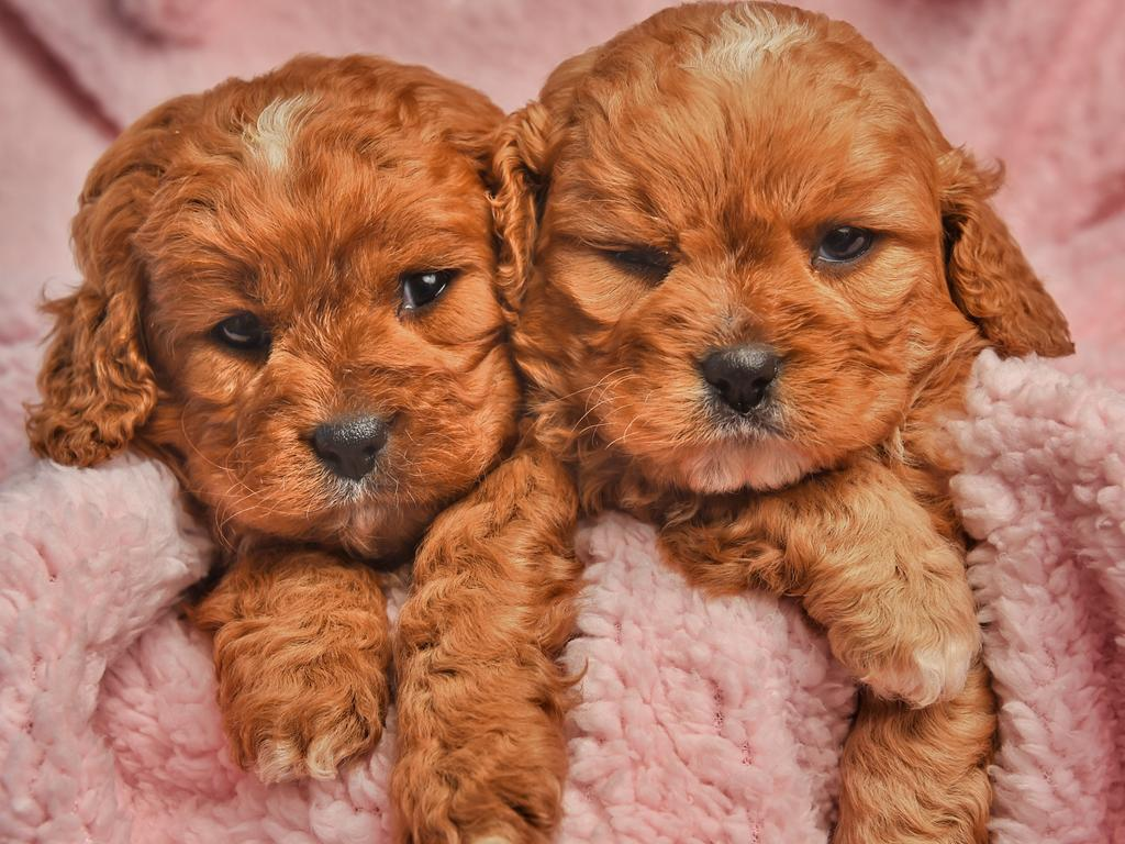 Cavoodles were part of different puppy scams. Picture: Tony Gough
