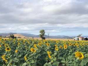 Sunflowers brighten up Covid countryside