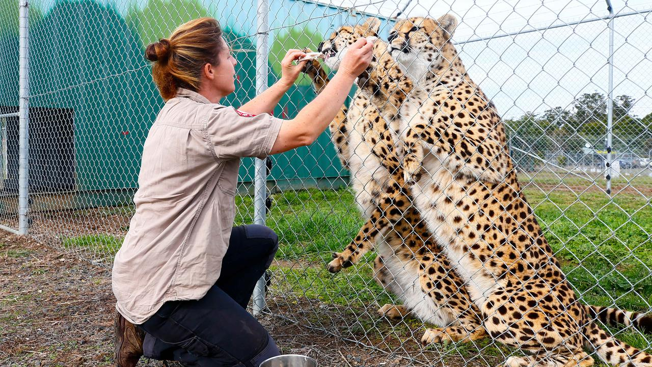 Tasmania Zoo owner Rochelle Penney with new cheetahs, Zari and Tafara. Picture: PATRICK GEE