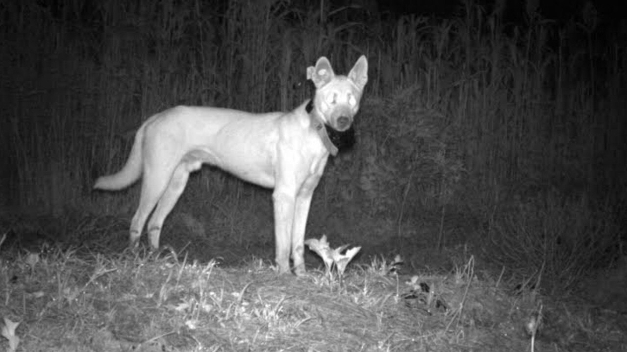 A total of 132 wild dogs were trapped and fitted with GPS-VHF collars as part of the research over 6 years.