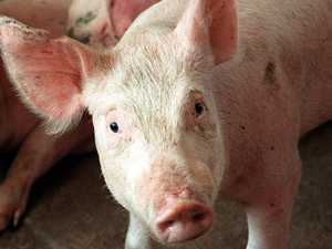 Pig 'engaged' in cannabis growing operation, court hears