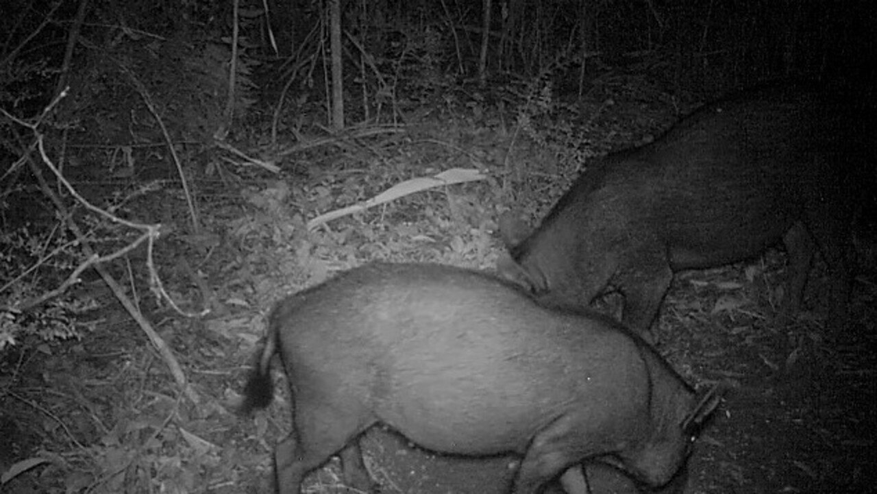 FERAL PESTS: Feral pigs caught on camera.