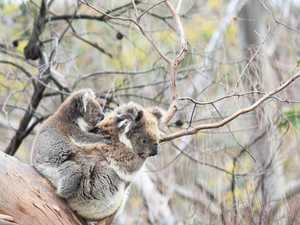 Outrage at logging of bushfire ravished koala habitat