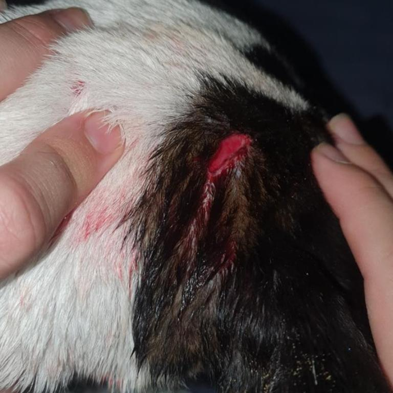 CLOSE CALL: Mischka, an English staffy-terrier cross, was attacked by an dog running off its leash at Town Beach, East Mackay. Picture: Contributed.