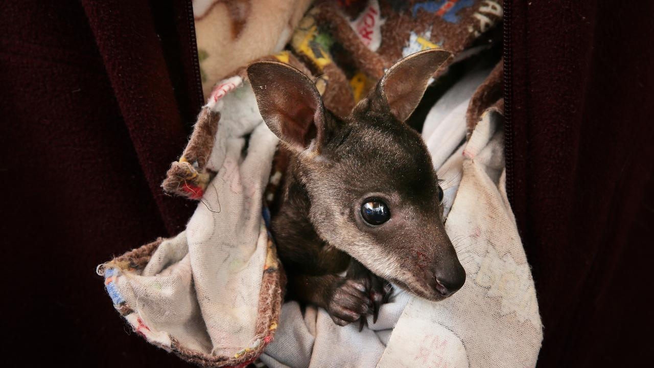 3 month old Kori the Swamp Wallaby was rescued from the pouch of his dead mother, who was hit by a car. Picture: Troy Snook