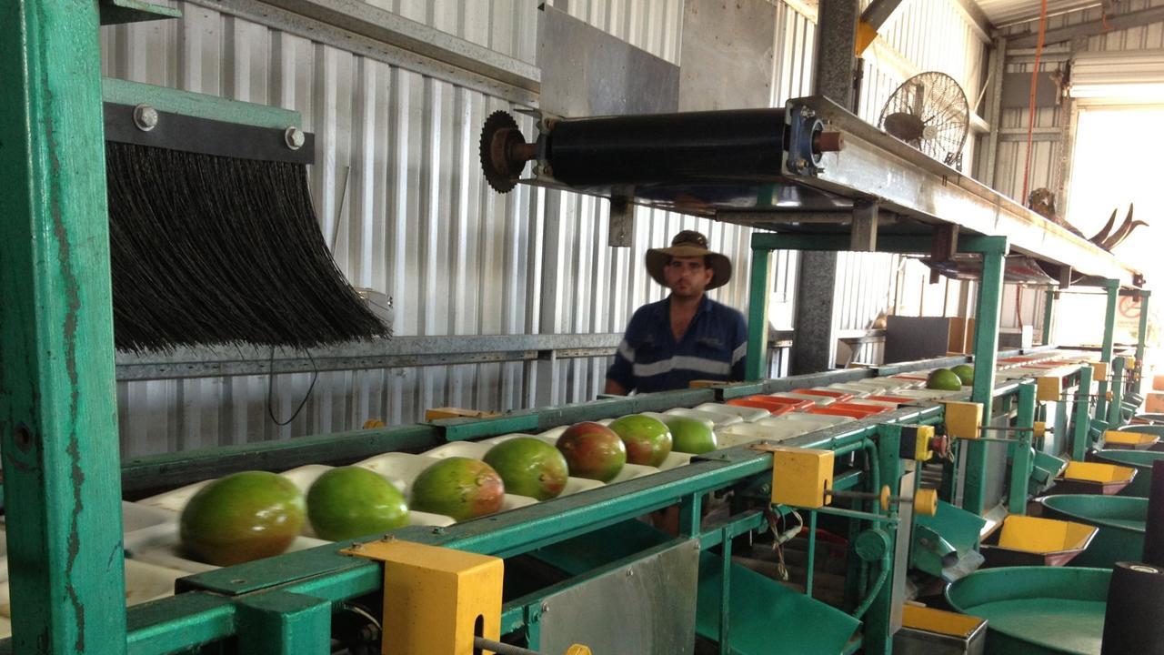 Mangos on production line at Marto's Mangoes.