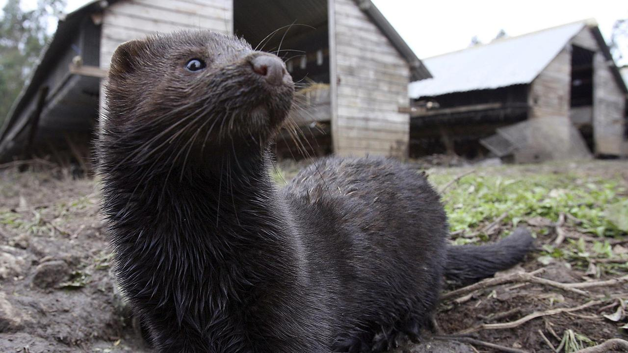 Mink are small mammals similar to ferrets that are bred for their soft fur. Picture: Supplied
