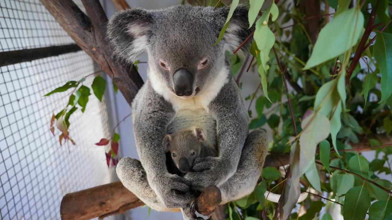 NEW ARRIVAL: Cooberrie Park are celebrating the arrival of a new Koala joey 'Kudos'.