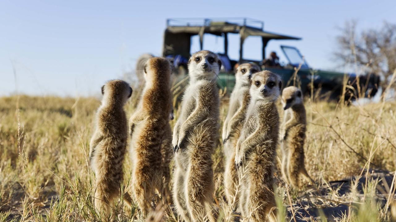 ESCAPE: Meerkats standing in field, Botswana. Picture: Getty