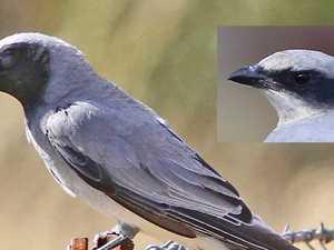 A common bird with a curious habit