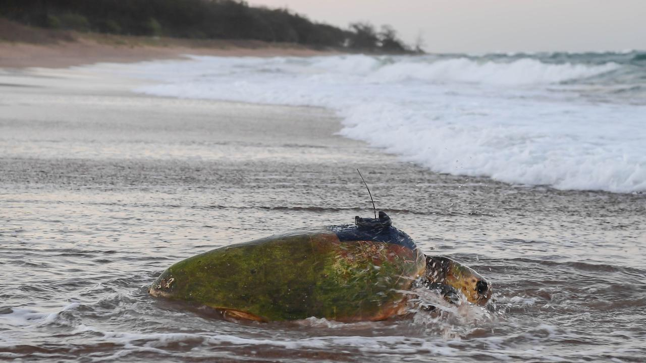 Merlie previously photographed heading out back to sea with the satellite tracker safely mounted to her shell.