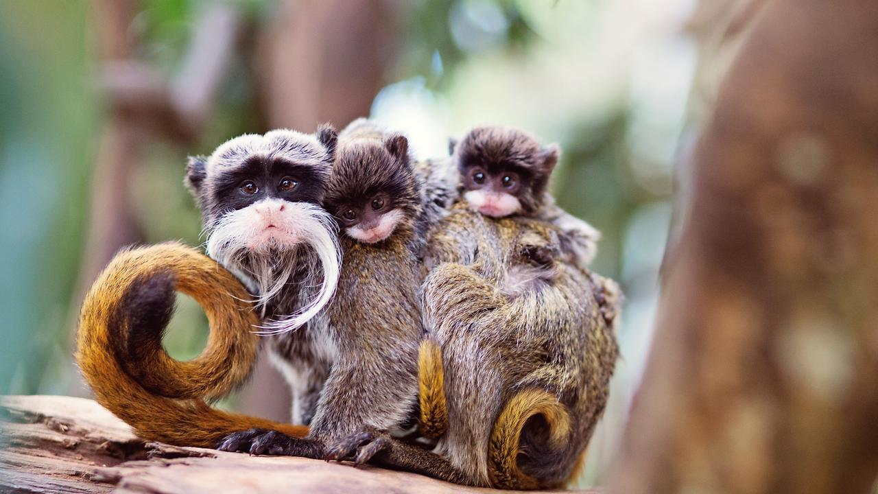 Emperor tamarins Aya and Gomez have given birth to twins at Wildlife HQ, Woombye.