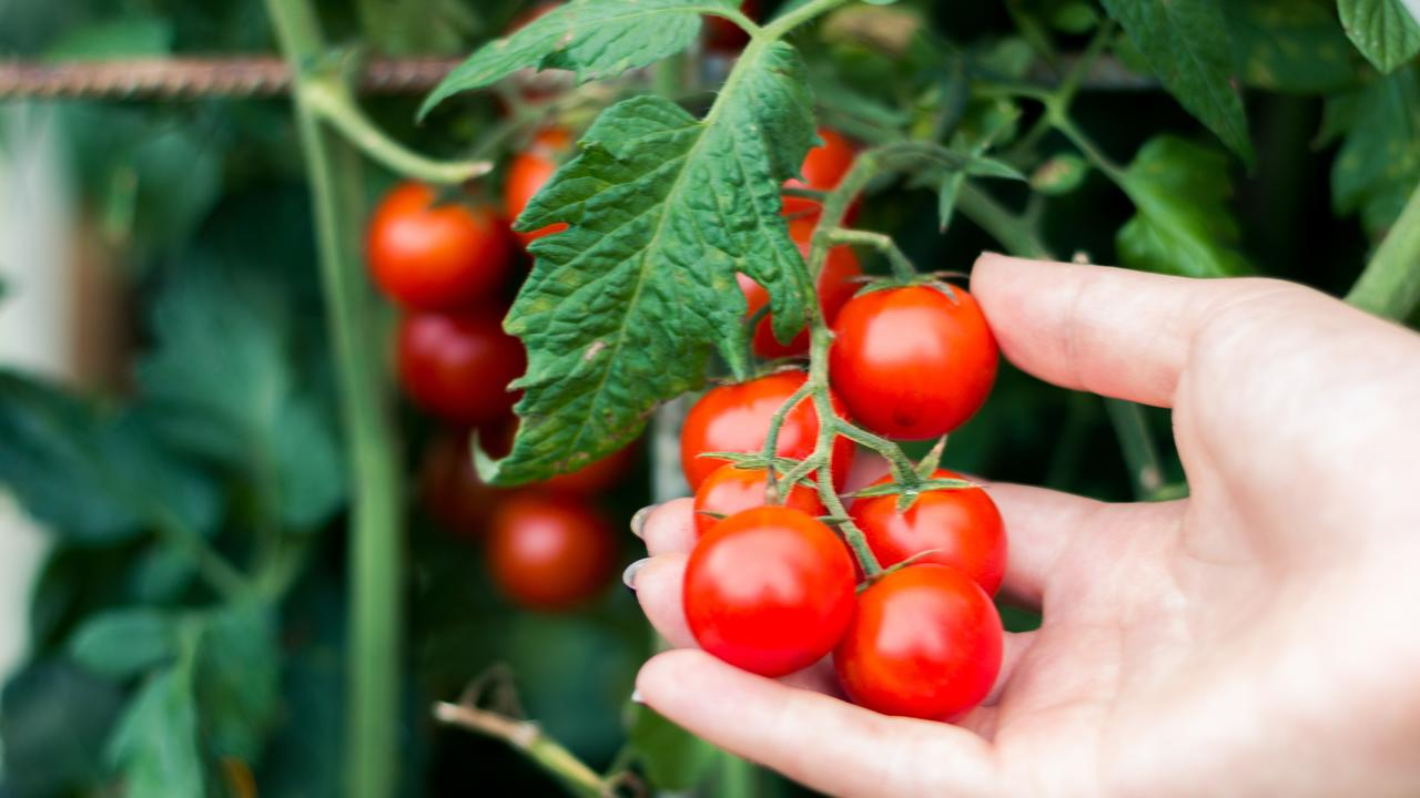 Woman picking fresh tomato. Picture: File