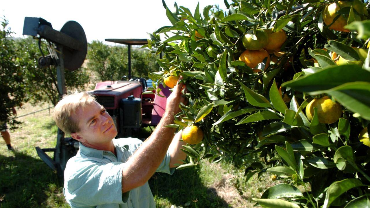 JUICY DAYS: Citrus farmer Les Darrow, on his farm on the Burnett river, near of Gayndah, QLD. Picture: Contributed
